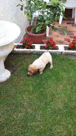 vendo cucciolo Breton